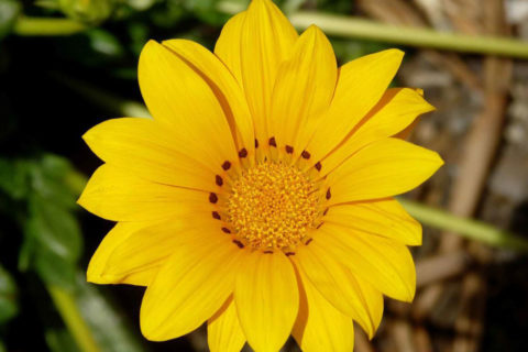blooming Gazania flower