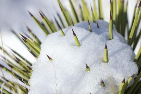 snow on a cactus